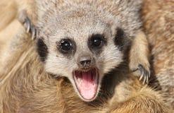Изреченное открытое Meerkat Стоковая Фотография RF