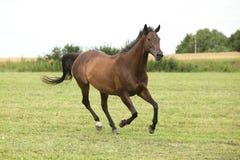Изумительная коричневая лошадь бежать самостоятельно Стоковые Фото
