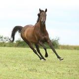 Изумительная коричневая лошадь бежать самостоятельно Стоковая Фотография RF