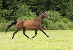 Изумительная коричневая лошадь бежать самостоятельно Стоковые Фотографии RF