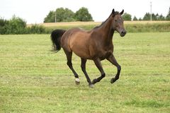 Изумительная коричневая лошадь бежать самостоятельно Стоковая Фотография