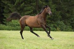 Изумительная коричневая лошадь бежать самостоятельно Стоковые Изображения
