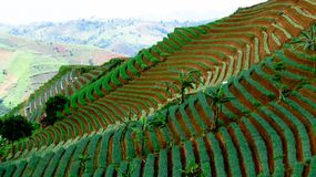 Изумительная ферма лука террасы в Argapura Majalengka Стоковые Изображения