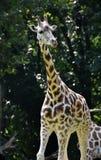 Изумительное изображение жирафа в природе Стоковое фото RF