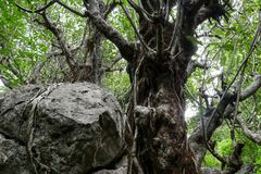 Изумительные деревья в глубоком лесе с огромным утесом Стоковая Фотография RF