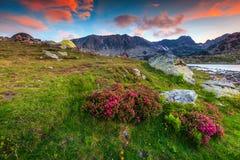Изумительные розовые цветки рододендрона и красочный заход солнца, горы Retezat, Румыния Стоковые Изображения
