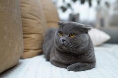 Изумительный великобританский кот сидя на кресле Она имеет цвета золото глаза Стоковое фото RF