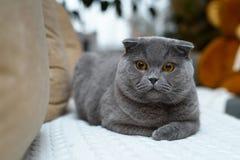 Изумительный великобританский кот с золотыми глазами Сидит на кресле в доме Стоковая Фотография
