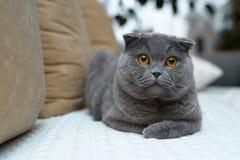 Изумительный великобританский кот с золотыми глазами Сидит на кресле в доме Стоковые Фото