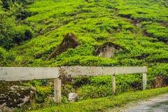 Изумительный взгляд ландшафта плантации чая в заходе солнца, времени восхода солнца Предпосылка природы с голубым небом и туманно стоковые изображения rf