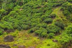 Изумительный взгляд ландшафта плантации чая в заходе солнца, времени восхода солнца Предпосылка природы с голубым небом и туманно стоковое фото rf