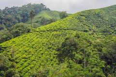 Изумительный взгляд ландшафта плантации чая в заходе солнца, времени восхода солнца Предпосылка природы с голубым небом и туманно стоковые изображения