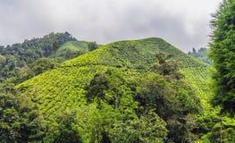 Изумительный взгляд ландшафта плантации чая в заходе солнца, времени восхода солнца Предпосылка природы с голубым небом и туманно стоковые фотографии rf
