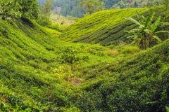 Изумительный взгляд ландшафта плантации чая в заходе солнца, времени восхода солнца Предпосылка природы с голубым небом и туманно стоковое фото
