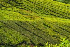 Изумительный взгляд ландшафта плантации чая в заходе солнца, времени восхода солнца Предпосылка природы с голубым небом и туманно стоковое изображение rf