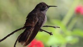 Изумительный коричневый violetear колибри delphinae Colibri принимая ветвь в тропическом лесе сток-видео