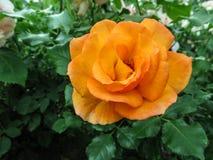 Изумительный красивый цветок оранжевой розы классической формы цветеня на предпосылке зеленой листвы Стоковые Фото