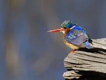 Изумительный маленький Kingfisher малахита Стоковая Фотография