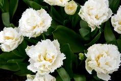 Изумительный сад тюльпана Стоковое Фото