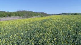 Изумительный bloomy вид с птичьего полета поля рапса в Mariahalom, Венгрии сток-видео