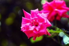 Изумительный pinky розовый цветок стоковые фотографии rf