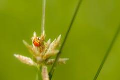 Изумительная жизнь ladybugs Стоковое Изображение RF