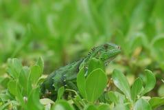 Изумительная зеленая ящерица в кустах Стоковые Фото