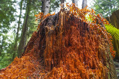 Изумительная красная древесина дерева кедра западного красного цвета Стоковое Изображение