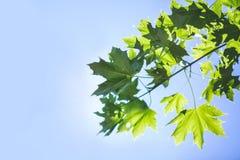 Изумительная красочная листва на ярком голубом небе Ветвь дерева весны с зелеными листьями Окружающая среда, природа, концепция э стоковые изображения
