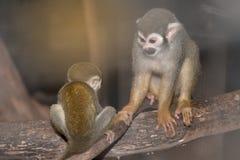 Изумительная семья обезьян белки с младенцем на дереве Стоковые Фотографии RF