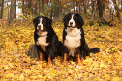 Изумительная собака bernese горы сидя совместно Стоковая Фотография RF
