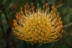 Изумительное золотое цветение цветка Protea в саде Стоковая Фотография