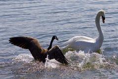 Изумительное изображение малой гусыни Канады атакуя лебедя на озере Стоковое Изображение