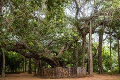 Изумительный баньян в Auroville, Индии стоковые изображения
