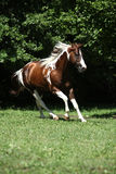 Изумительный ход жеребца лошади краски Стоковые Изображения
