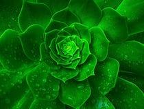 Изумительный цветок капусты после дождя, Израиля Стоковое фото RF