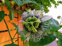 Изумительный цветок страсти Стоковые Изображения RF