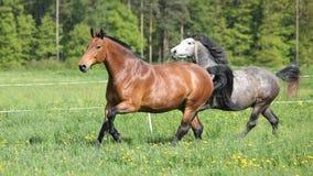 2 изумительных лошади бежать в свежей траве Стоковое фото RF