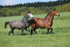 2 изумительных лошади бежать в свежей траве Стоковая Фотография RF