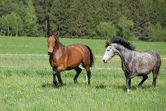 2 изумительных лошади бежать в свежей траве Стоковое Фото