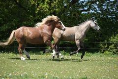 2 изумительных лошади бежать на pasturage весны Стоковые Изображения
