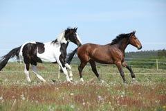 2 изумительных лошади бежать на pasturage весны Стоковое Изображение RF