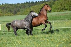 2 изумительных лошади играя в свежей траве Стоковое фото RF