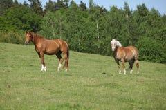 2 изумительных лошади стоя на pasturage Стоковые Фото