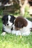 2 изумительных щенят лежа совместно в траве Стоковые Изображения
