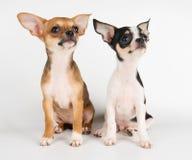 2 изумительных щенят Стоковая Фотография RF