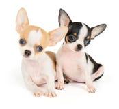 2 изумительных щенят Стоковое фото RF