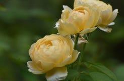 Изумлять близко вверх зацветенных желтых роз Стоковая Фотография RF