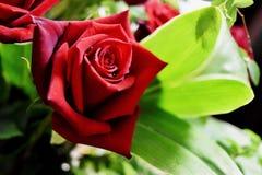 Изумлять один завод украшения листвы красной розы и зеленого цвета стоковое изображение
