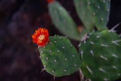 Изумляющ близко вверх зацветая кактуса шиповатой груши, цветок положения Техаса стоковые фото
